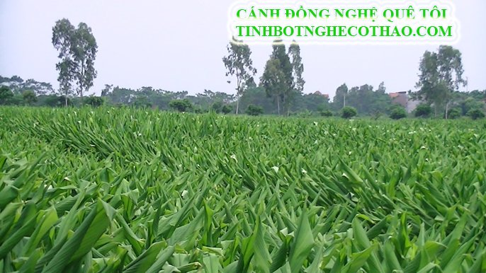 Canh-dong-nghe-que-toi-tinh-bot-nghe-co-thao